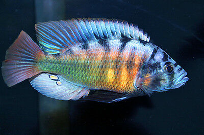 "3 inch+ MALE Pundamilia sp. ""red flank"" (Nansio Bay) Victorian African Cichlid"