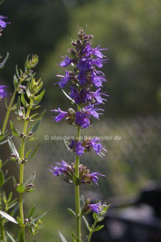Zwerg-Ysop Pflanze im 9cm-Topf Hyssopus officinalis subsp. aristatus