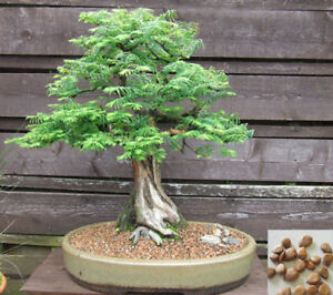 Dawn Redwood 60 Seeds Metasequoia Glyptostroboides Bonsai Easy Fast Grow 615 Ebay