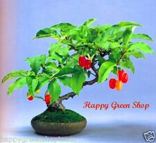 Autunno verde oliva - 50 semi-Elaeagnus Umbellata BONSAI ALBERO silverberry giapponese