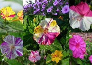 50-100-200-Samen-Mirabilis-jalapa-Wunderblume