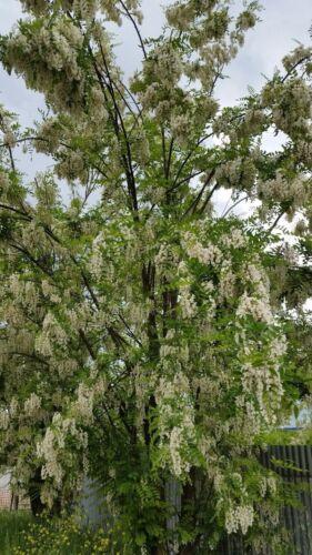 Robinia Pseudoacacia 50 Seeds seeds Gaggia Robinia Black Locust False Acacia