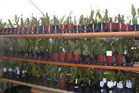 """Epiphyllum Orchid Cactus, Plant, """" CASSANDRA """", Don's Quart pots"""