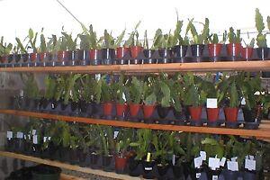 Epiphyllum Orchid Cactus  034 ANTIQUE GOWN 034 Don039s Quart pots - Fremont, California, United States - Epiphyllum Orchid Cactus  034 ANTIQUE GOWN 034 Don039s Quart pots - Fremont, California, United States