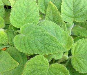 FRUIT-SALAD-SAGE-Salvia-dorisiana-edible-flowers-plant-in-100mm-pot