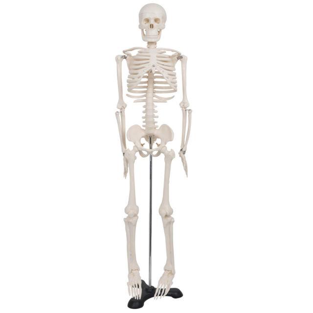85cm Human Anatomical Anatomy Skeleton Model Fexible Medical School
