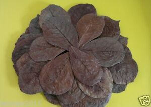 """100% Quality 100 Pcs 5-6"""" A+ Catappa Ketapang Indian Almond Leaves For Betta Shrimp Discus Pet Supplies"""