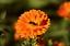 150//600 Graines Souci Double de Jardins Orange Ball CALENDULA Officinalis FLEUR