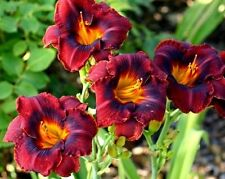 MAHOGANY MAGIC ❀ Daylily Plants Fans Rebloomer Live Plant Perennial Flowers