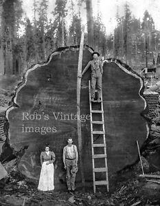 Vintage-Redwood-Sequoia-Logging-Photo-Big-Logs-People-amp-Man-on-Ladder-California