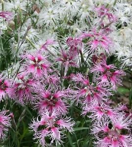 Dianthus Wee Willie Mix 150 Seeds Dwarf Compact Perrenial Multi Colour Popular