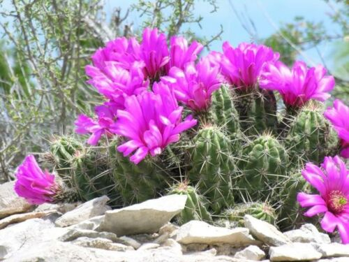 10 seeds STRAWBERRY HEDGEHOG CACTUS Echinocereus enneacanthus