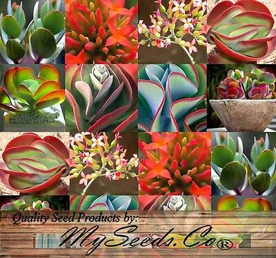 15 x Flapjack Plant Kalanchoe Species Mix, fancy ruffled succulent vibrant color