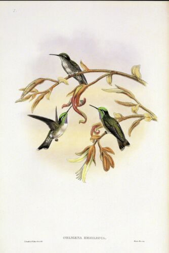 """1990 Vintage HUMMINGBIRD #s5 /""""WHITE BELLIED CACIQUE/"""" LOVELY GOULD Art Lithograph"""