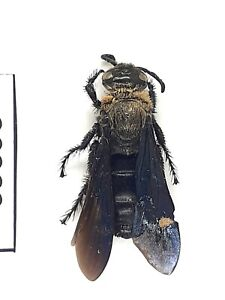 Beetle,Wasp, 30382, Hymenoptera, Scoliidae, Scolia sp. from Vietnam