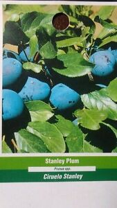 4 5 stanley plum fruit tree plant new healthy plums trees home