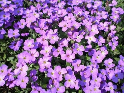500 PURPLE ROCKCRESS Aubrieta  Flower Seeds *Comb S/H