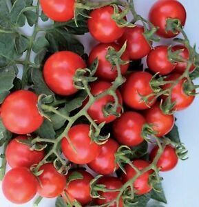 origine sicilia 100 semi ciliegino dolcissimo Pomodoro ciliegino dolce