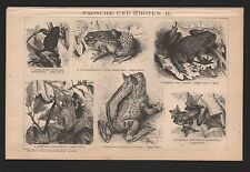 Lithografie 1893: FRÖSCHE UND KRÖTEN II. Taschen-Horn-Flugfrosch Geburtshelferkr