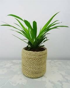 Chlorophytum Plante Araignée Blanc Vert Couleur Intérieur Ext Dépolluante