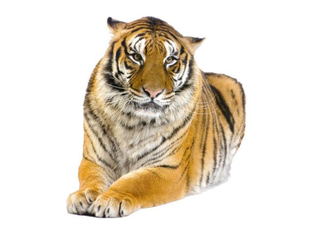 Wandsticker Sticker Wandaufkleber für Wohnzimmer Tiere Asien: liegender Tiger