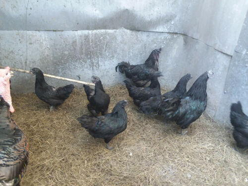 6 PLEASE SEE DESCRIPTION ** PURE AYAM CEMANI Fertile//Hatching Egg