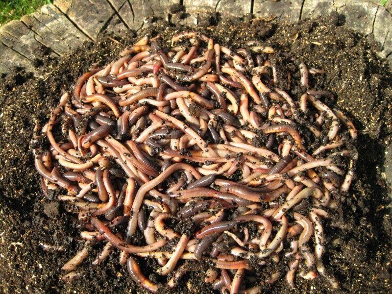 Angelwurm - Tauwürmer - Riesenköder für Aal und Waller