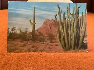 Union-Oil-Company-s-Arizona-Organ-Pipe-Cactus-postcard