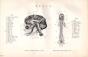 Datazione cervello
