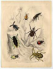 Entomologie-Käfer-Insekten altkol. Lithographie 1851