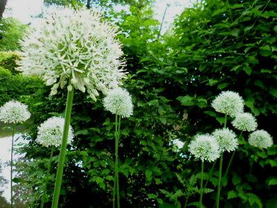 2 X Allium Zierlauch -weiss & Lila/blau Ambassador & Mount Everest Je 50 Samen Duftendes Aroma