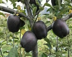 30Pcs Seeds Dwarf Black Apple Bonsai Diamond Apple Rare Perennial Plants Garden