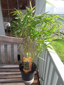 Fargesia Rufa / Chinese Fountain Bamboo, 1-2ft tall in a 2L Pot | eBay