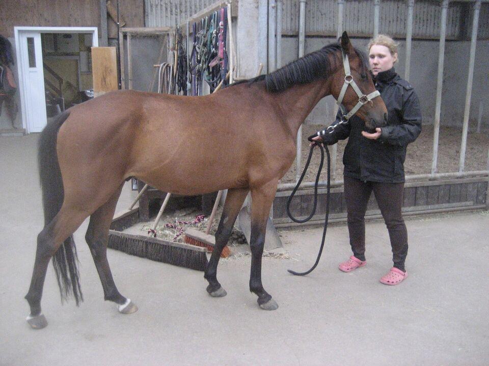 Dansk Sports Pony, vallak, 4 år