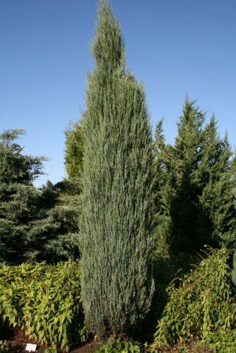 Wacholder Juniperus scopulorum /'Blue Arrow/'   50-60 cm im Container