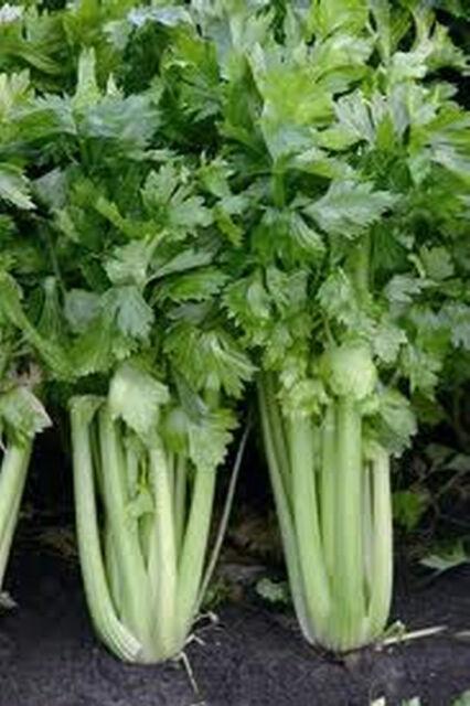 Celery TALL UTAH .30 grams (approx 1000 seeds) (HEIRLOOM / ORGANIC) Vegetables