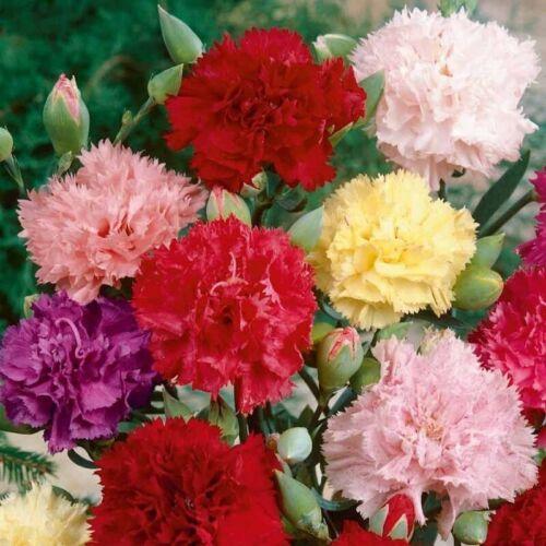 40 CARNATIONS FILLED MIX SEEDS Flower UK Fast Despatch Biennial Dianthus