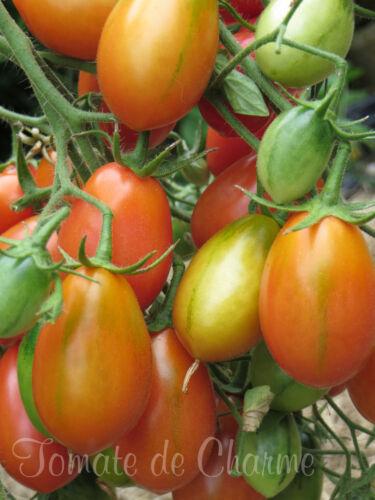 10 graines de tomate Chio Chio San pink cherry tomato seeds méth.bio
