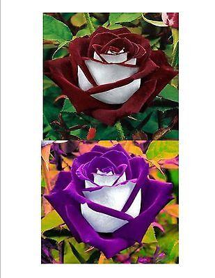 100 Perennial Rose Seeds Mix Colors Flower Perennial Plants  Burgundy Purple