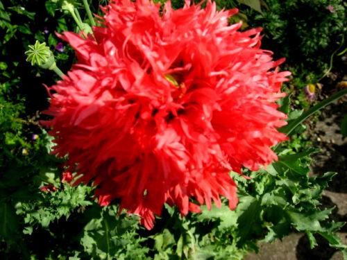 Pavot-Kunterbunt-Fleurs Prairie-Solitaire plantes 151 Graines