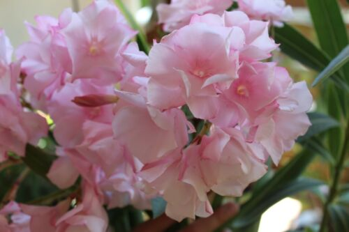 ALSACE 3 Oleander Stecklinge weiß orientrosa angehaucht