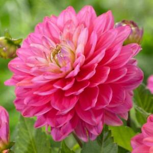 Dahlia decorative pink tubers huge flower flowers for month ebay image is loading dahlia decorative pink tubers huge flower flowers for mightylinksfo
