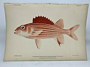 Antique-Lithographic-Print-Reef-Fishes-Hawaiian-Islands-Bien-1903-Plate-9