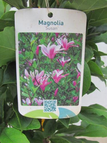 Magnolia Susan 120-150 cm  rote Blüten Magnolie Tulpenmagnolie Magnolienbaum