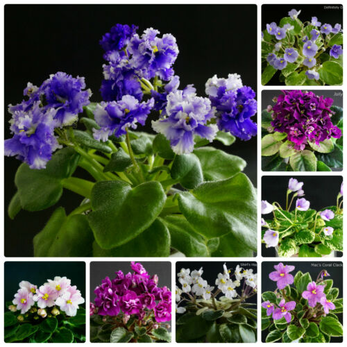 20 fogli mia elezione//20 Leaves of my Choice usambaraveilchen African Violet