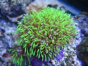 Live-Green-Star-Polyp-Coral-Frag-Saltwater-Marine-GSP-Polyps-Reef-FREE-SHIPPING