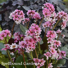 Bergenia 'Sakura' Heartleaf Bergenia, Pigsqueak Live Plant