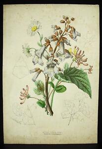 Polonia-Geissblatt-Margerite-Method-Grobon-Gebrueder-c1860-Botanik-Lith-Orig