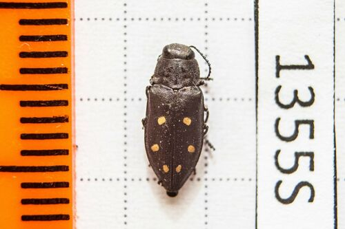 Buprestidae Buryatia !PRICE FOR EACH! Chrysobothris sp
