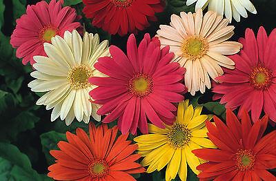 FLOWER GERBERA JAMESONII HYBRIDS MIX  100 SEEDS